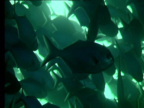 """vidéos et rushes de a dense school of jacks slowly moves through sunlit waters. - """"bbc natural history"""""""