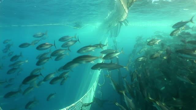vídeos de stock e filmes b-roll de a dense school of tuna surges into a fishing net. - atum peixe