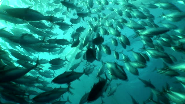a dense school of tuna swims past a fishing net. - school of fish stock videos & royalty-free footage