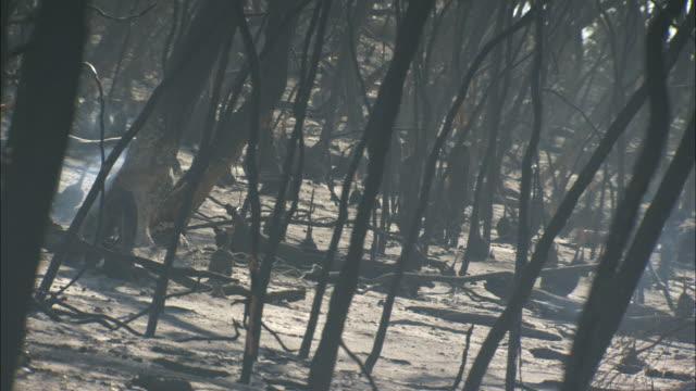 cu dense thicket after bushfire, eyre peninsula, south australia, australia - burnt stock videos & royalty-free footage