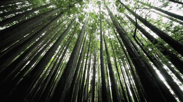vidéos et rushes de ms pov tu dense trees & foliage in clean forest environment / california,united states - vue en contre plongée