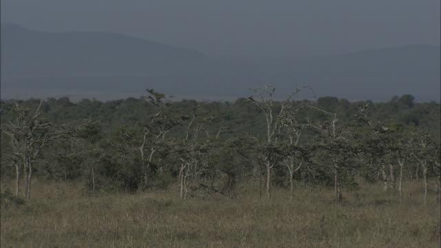 dense trees grow on the grassy savanna. - ebene stock-videos und b-roll-filmmaterial