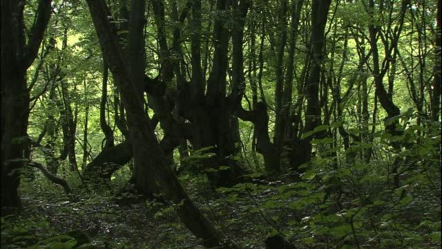 dense twisted japanese beech trees grow in the forests of mt. chokai, japan - 鳥海山点の映像素材/bロール
