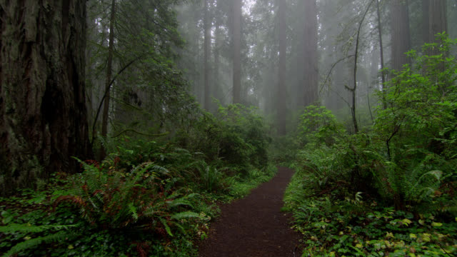vídeos y material grabado en eventos de stock de dense vegetation grows around a path though a foggy forest in redwood national park, california. - parque estatal