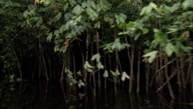 dense vegetation grows in a swamp in french guiana. - french guiana stock videos & royalty-free footage
