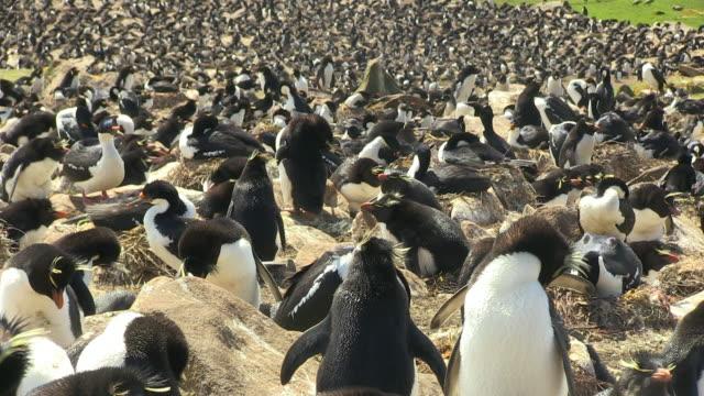 cu densely packed rockhopper penguin colony with birds preening - flightless bird stock videos & royalty-free footage