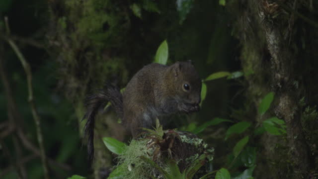 a deppes squirrel (sciurus deppei) eats seeds from a plant. - futter suchen stock-videos und b-roll-filmmaterial