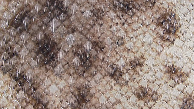dermal denticles on skin of dogfish (squalidae) shark, england - scales stock videos & royalty-free footage