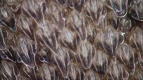 dermal denticles on skin of dogfish (squalidae) shark, england - haut stock-videos und b-roll-filmmaterial