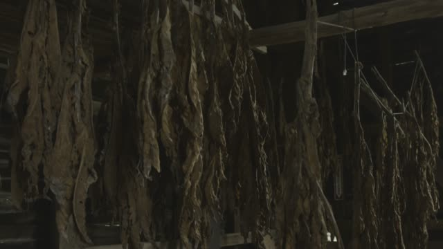 descending shot of tobacco leaves hanging in an old tobacco barn - tobacco product stock videos & royalty-free footage