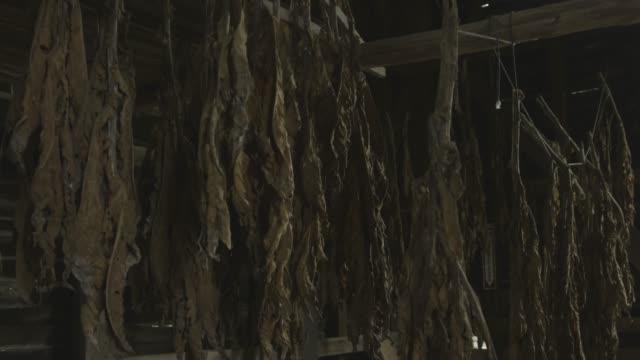 descending shot of tobacco leaves hanging in an old tobacco barn - tabakwaren stock-videos und b-roll-filmmaterial