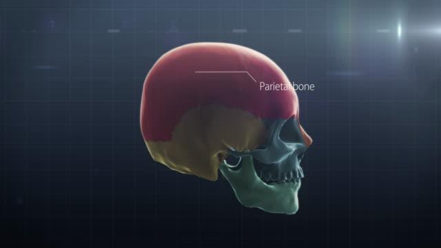 description of human bones - parietal bone stock videos & royalty-free footage