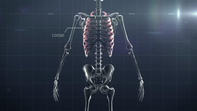 description of human bones - sternum stock videos & royalty-free footage