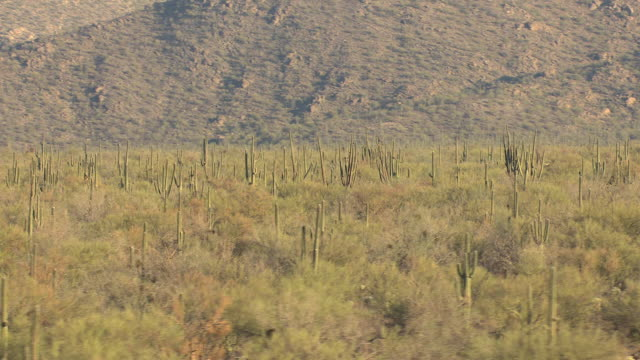 WS AERIAL Desert and low and tight around saguaros in Sonoran Desert in Pima County / Tucson, Arizona, United States
