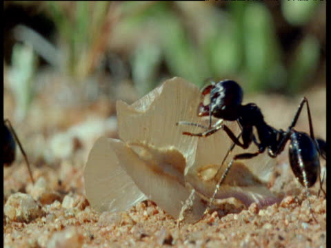 Desert ant hauls large seed out of frame