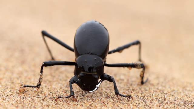 a desert beetle collects water from the early morning fog in the namib desert. - beetle stock videos & royalty-free footage