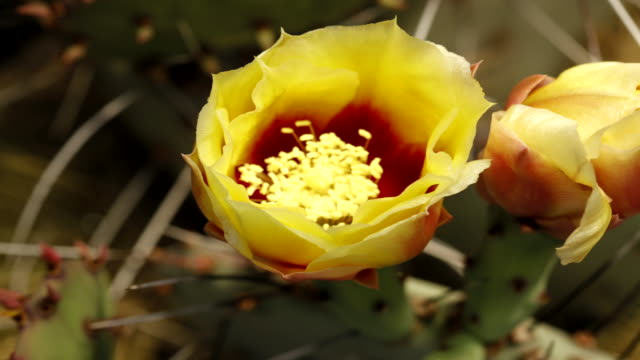 desert cactus flower opens - stamen stock videos and b-roll footage