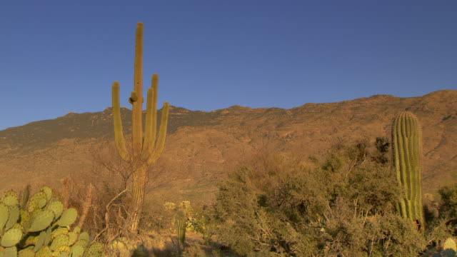 Desert cactus in golden hour light with bright blue skies - pan