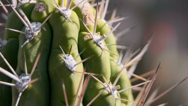desert cactus macro - arizona usa - succulent plant stock videos & royalty-free footage