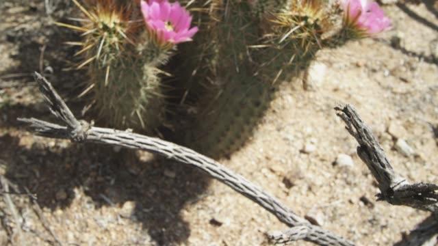 desert cactus - pistil stock videos & royalty-free footage