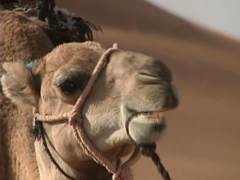 Desert Camel Close-up