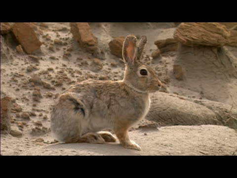 desert cottontail (sylvilagus audubonii) sitting on rock in hell creek formation / zoom out to wide shot of rabbit blending into terrain / montana - 悪地地形点の映像素材/bロール