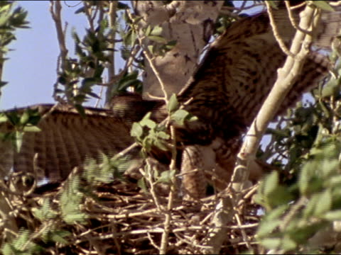 zo desert countryside w/ gorge ms redtailed fledgling in cottonwood tree flapping wings front rear la tu redtailed fledgling on branch - cottonwood tree stock videos and b-roll footage