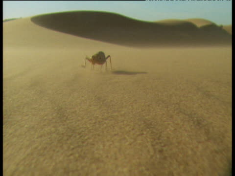 Desert cricket walks to camera over windy desert sands