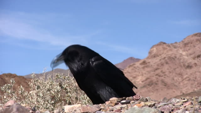 desert crow - death valley national park stock videos & royalty-free footage