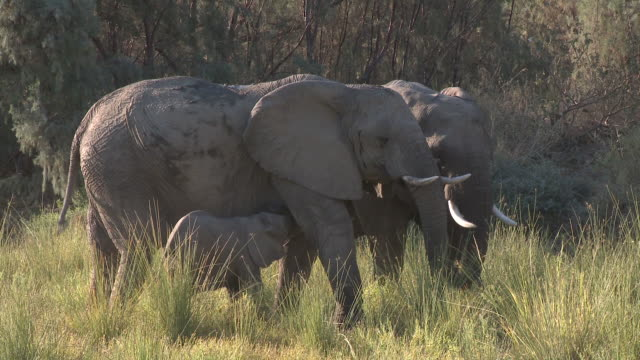 desert elephant (loxodonta africana) calf with two adults, ugab river basin, namibia: desert-dwelling population of african bush elephant though not distinct subspecies - animal nose stock videos & royalty-free footage