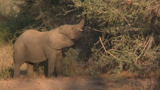 desert elephant (loxodonta africana) feeding from tree, ugab river basin, namibia: desert-dwelling population of african bush elephant though not distinct subspecies - herbivorous stock videos & royalty-free footage