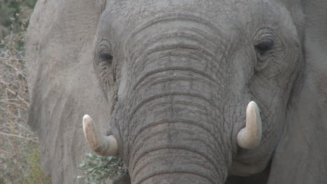 Desert Elephant (Loxodonta africana) head, cu, Ugab River Basin, Namibia: desert-dwelling population of African Bush Elephant though not distinct subspecies