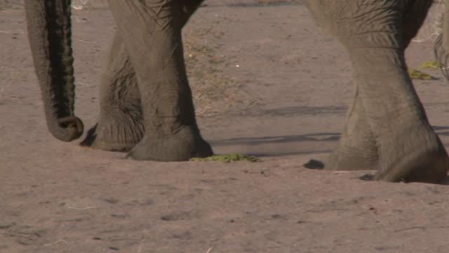 desert elephant (loxodonta africana) legs walking, ugab river basin, namibia: desert-dwelling population of african bush elephant though not distinct subspecies - gliedmaßen körperteile stock-videos und b-roll-filmmaterial