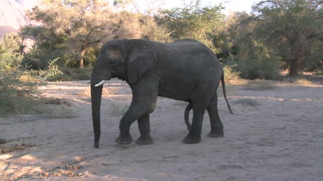 desert elephant (loxodonta africana) male, ugab river basin, namibia: desert-dwelling population of african bush elephant though not distinct subspecies - ゾウ点の映像素材/bロール