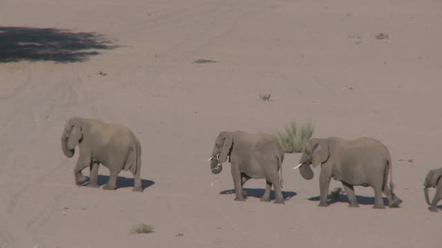 desert elephants (loxodonta africana), group with calf cross sand, ugab river basin, namibia: desert-dwelling population of african bush elephant though not distinct subspecies - namibia stock videos & royalty-free footage
