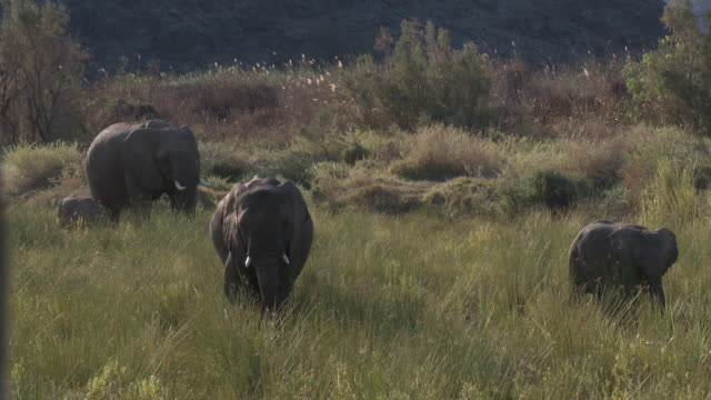 stockvideo's en b-roll-footage met desert elephants (loxodonta africana) in habitat, ugab river basin, namibia: desert-dwelling population of african bush elephant though not distinct subspecies - foerageren