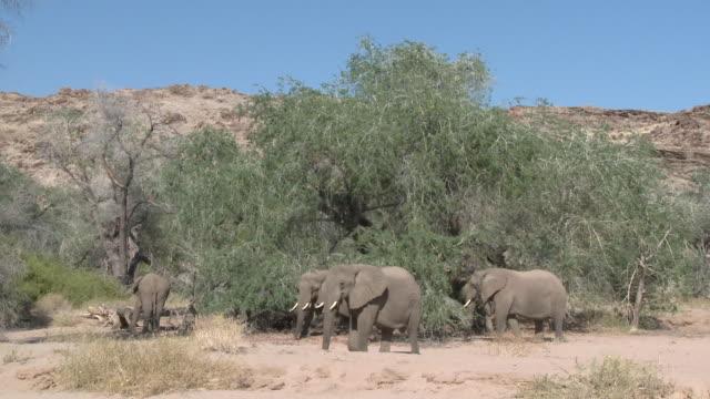 desert elephants (loxodonta africana) in habitat, ugab river basin, namibia: desert-dwelling population of african bush elephant though not distinct subspecies - herbivorous stock videos & royalty-free footage