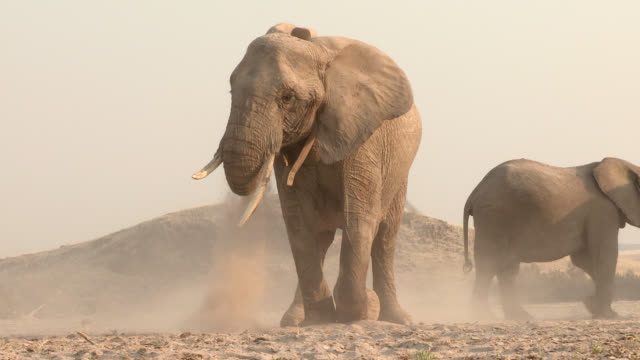 Desert elephants take dust baths in a dry riverbed.