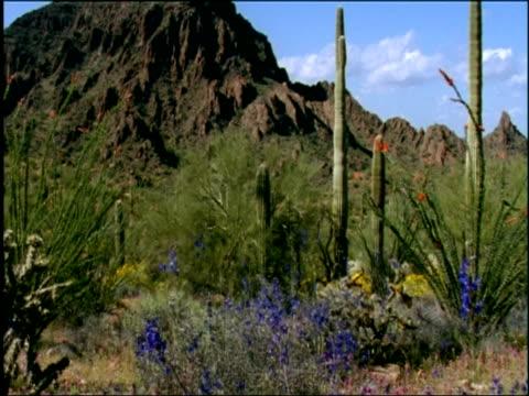 Desert estabs - saguaro cacti, ocotillos, blue Larkspur (Delphinium) and mountain range, Sonoran desert, USA
