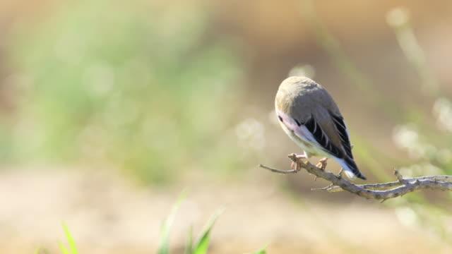 desert finch (rhodospiza obsoleta) - ネゲブ点の映像素材/bロール