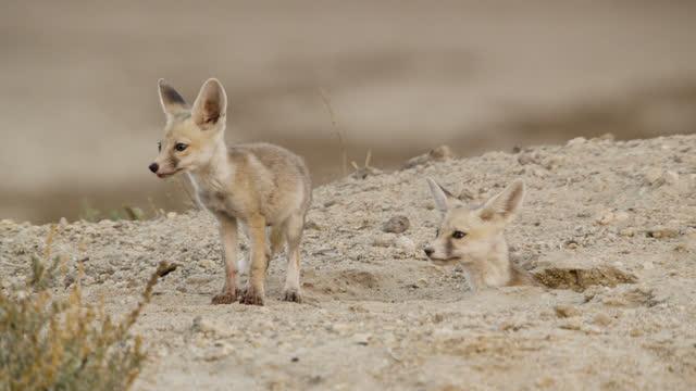 "desert fox cubs at den, india. - ""bbc natural history"" stock videos & royalty-free footage"