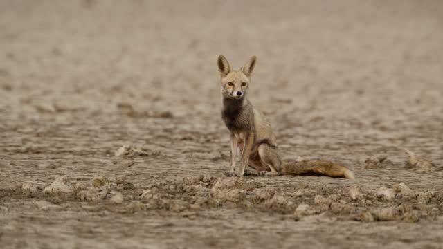 desert fox sits in salt flat, india. - sitting stock videos & royalty-free footage