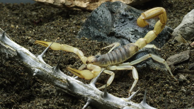 Desert Hairy Scorpion and Blue Death Feigning Beetle crawling around.
