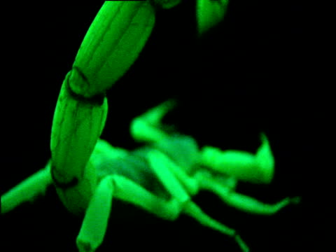 desert hairy scorpion glows under uv light before scuttling away - glowing stock videos and b-roll footage