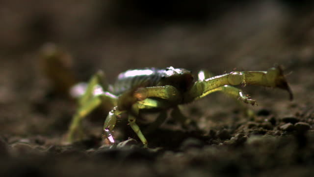 slomo desert hairy scorpion in desert, arizona, usa - stechen stock-videos und b-roll-filmmaterial