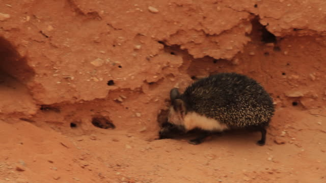 desert hedgehog (Paraechinus aethiopicus) enters his den in the sand rock