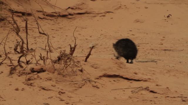 desert hedgehog (paraechinus aethiopicus) runing in the desert - hedgehog stock videos & royalty-free footage