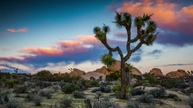 time lapse: desert landscape with joshua tree at sunrise - 4k nature/wildlife/weather - joshua tree national park stock videos & royalty-free footage