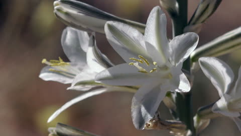desert lily, hesperocallis undulata, joshua tree national park - lily stock videos & royalty-free footage