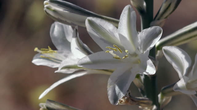 desert lily, hesperocallis undulata, joshua tree national park - lily stock videos & royalty-free footage